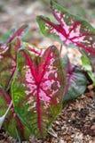 O coração deu forma à folha de uma planta de Kathleen do Caladium da tri cor imagens de stock royalty free