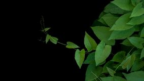 O coração deu forma às folhas amarrotado verdes com as gavinhas da videira coral ou foto de stock royalty free
