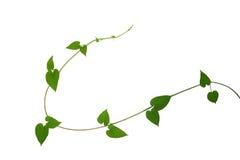O coração deu forma às videiras verdes da folha isoladas no fundo branco, grampo fotos de stock