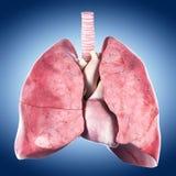 O coração e o pulmão imagem de stock
