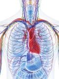 O coração humano ilustração stock