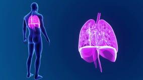 O coração, os pulmões e o diafragma humanos zumbem com corpo filme