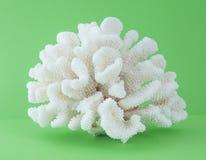O coral isolou-se Foto de Stock