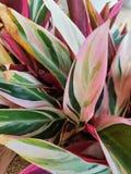O cordyline descascado cor-de-rosa bonito sae próximo acima fotografia de stock royalty free