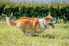 O corgi das raças do cão foge em uma caminhada Imagens de Stock