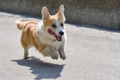 O corgi das raças do cão foge em uma caminhada Imagem de Stock Royalty Free