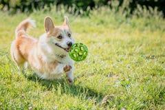 O corgi das raças do cão foge em uma caminhada com a bola Fotos de Stock Royalty Free