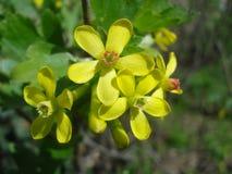 O corinto dourado floresce (o aureum do Ribes) Imagem de Stock Royalty Free