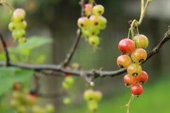 O corinto vermelho verde começa somente a corar no início do verão no branche imagens de stock
