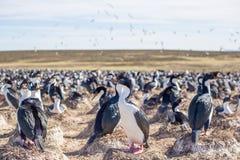 O cormorão ou o azul imperial eyed a colônia do cormorão, Falkland Islan imagem de stock