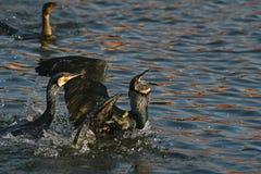 O cormorão - um aviador perfeito, nada e mergulha bem, plumagem não é impermeável imagens de stock royalty free