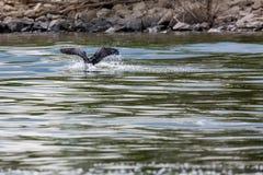 O cormorão voa no lago Kerkini, vista parcial imagem de stock royalty free