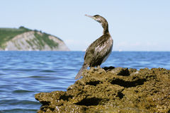 O Cormorant Fotografia de Stock