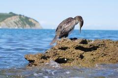 O Cormorant Fotos de Stock