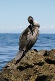 O Cormorant Imagens de Stock
