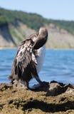 O Cormorant Fotos de Stock Royalty Free