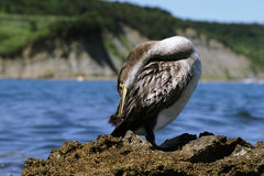 O Cormorant Imagem de Stock