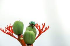 O cornetim verde do besouro na folha tem uma natureza borrada imagens de stock royalty free