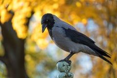 O cornix encapuçado do Corvus do corvo na perspectiva do outono imagens de stock