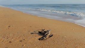 O corpo como a morte de um p?ssaro selvagem encontra-se na areia perto do mar video estoque