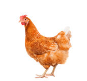 O corpo completo da posição marrom da galinha da galinha isolou o backgroun branco