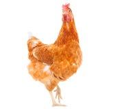 O corpo completo da posição marrom da galinha da galinha isolou o backgroun branco Foto de Stock