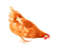O corpo completo da posição marrom da galinha da galinha isolou o backgroun branco Fotografia de Stock