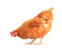 O corpo completo da posição marrom da galinha da galinha isolou o backgroun branco fotos de stock