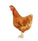 O corpo completo da posição marrom da galinha da galinha isolou o backgroun branco Foto de Stock Royalty Free