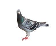 O corpo completo do pássaro de direção do pombo isolou o fundo branco imagem de stock