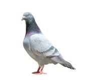 O corpo completo do pássaro de direção masculino do pombo isolou o fundo branco imagem de stock