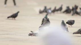 O corpo de um pombo inoperante é encontro imobilizado no asfalto - outros pombos vagueiam ao redor e bicam nele video estoque