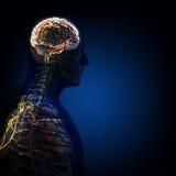 O corpo humano (órgãos) por raios X no fundo azul imagens de stock royalty free