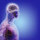 O corpo humano (órgãos) por raios X no fundo azul fotos de stock
