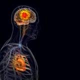 O corpo humano (órgãos) por raios X no fundo preto imagens de stock