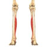 O corpo humano Muscles a anatomia (flexor Digitorum Longus) Foto de Stock