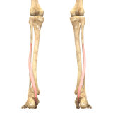 O corpo humano Muscles a anatomia (flexor Hallucis Longus) Imagens de Stock Royalty Free