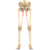 O corpo humano Muscles a anatomia (Gracilis) Foto de Stock Royalty Free