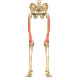 O corpo humano Muscles a anatomia (Lateralis Vastus) Fotografia de Stock Royalty Free