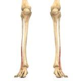 O corpo humano Muscles a anatomia (Lateralis Vastus) Fotos de Stock Royalty Free