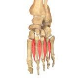 O corpo humano Muscles a anatomia (o interossei relativo à planta do pé dorsal) Imagem de Stock