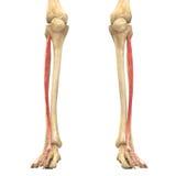 O corpo humano Muscles a anatomia (o longus do digitorum do extensor) Imagem de Stock Royalty Free