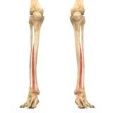 O corpo humano Muscles a anatomia (o longus dos hallucis do extensor) Imagem de Stock Royalty Free