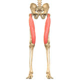 O corpo humano Muscles a anatomia (o músculo reto femoris) Imagem de Stock
