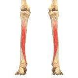 O corpo humano Muscles a anatomia (o traseiro de Tibialis) Imagem de Stock