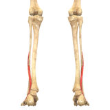 O corpo humano Muscles a anatomia (Peroneus Brevis) Imagem de Stock