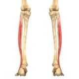 O corpo humano Muscles a anatomia (Peroneus Longus) Foto de Stock Royalty Free