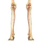 O corpo humano Muscles a anatomia (Plantaris) Fotos de Stock Royalty Free