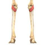 O corpo humano Muscles a anatomia (Popliteus) Fotos de Stock