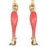 O corpo humano Muscles a anatomia (Soleus) Fotografia de Stock